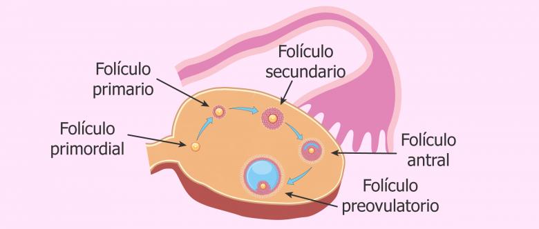 Folículos - Reserva ovárica